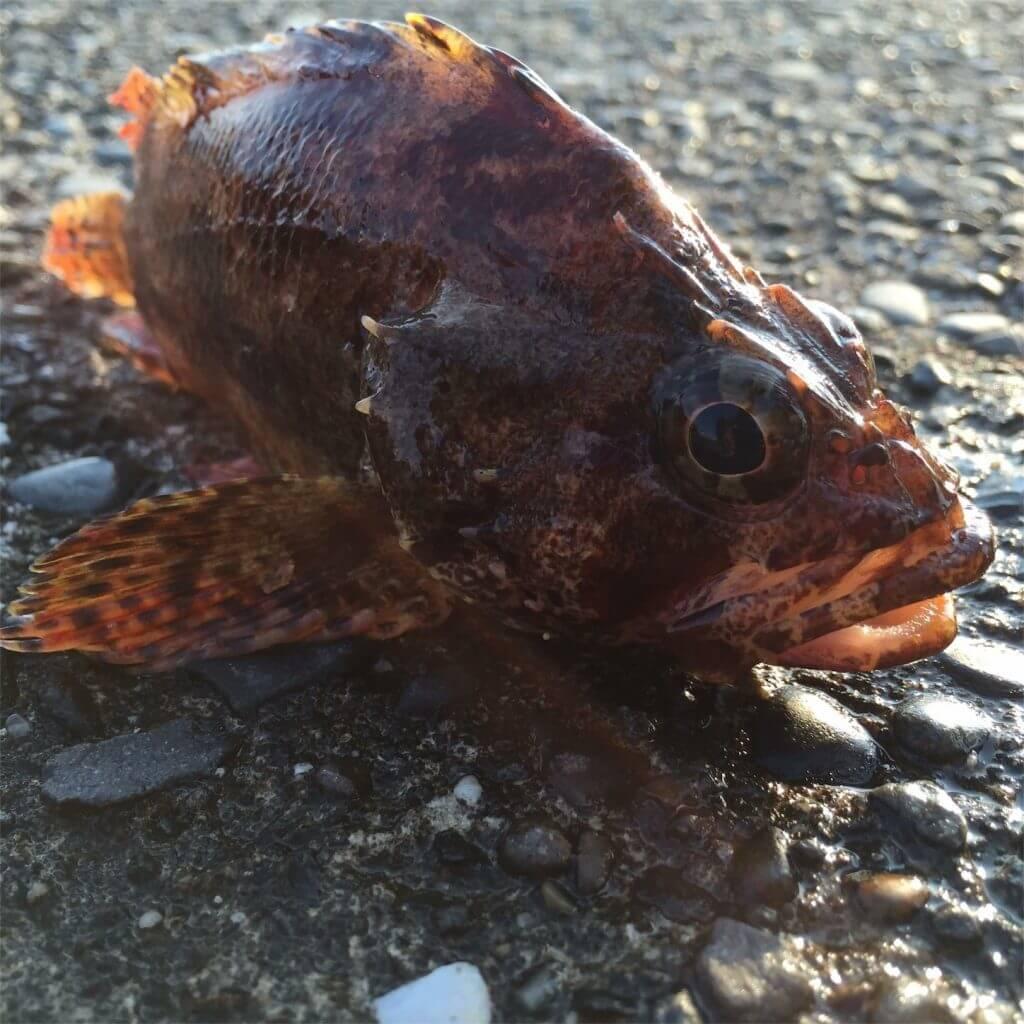 20160527金田湾カサゴ 釣り