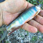 真夏の多摩川でオイカワを釣る【釣り初心者が語るお父さんのための釣り講座】