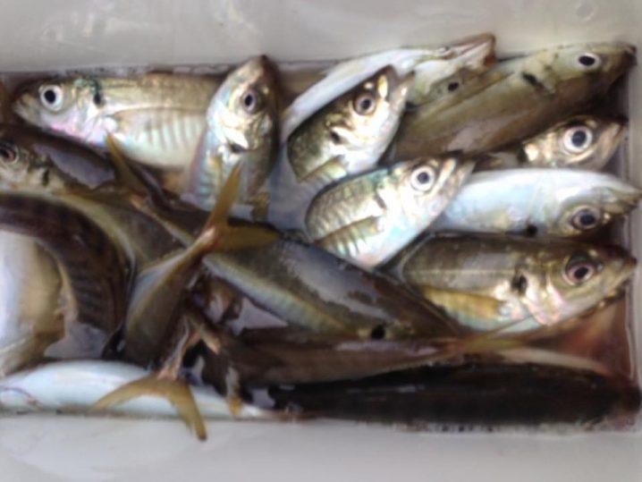 釣果 クーラーボックス内のアジ
