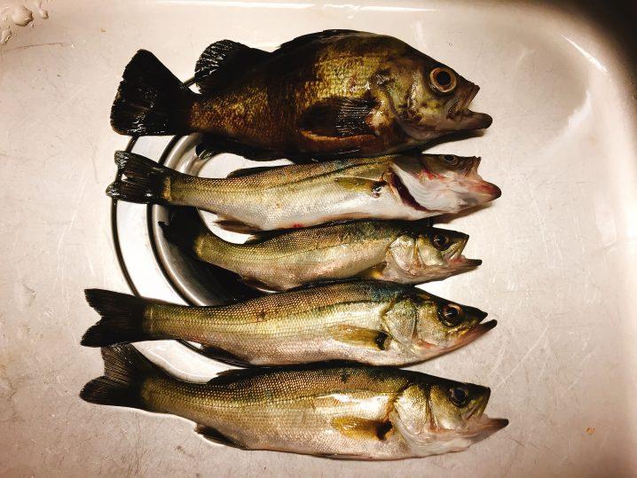 横浜港で釣った魚