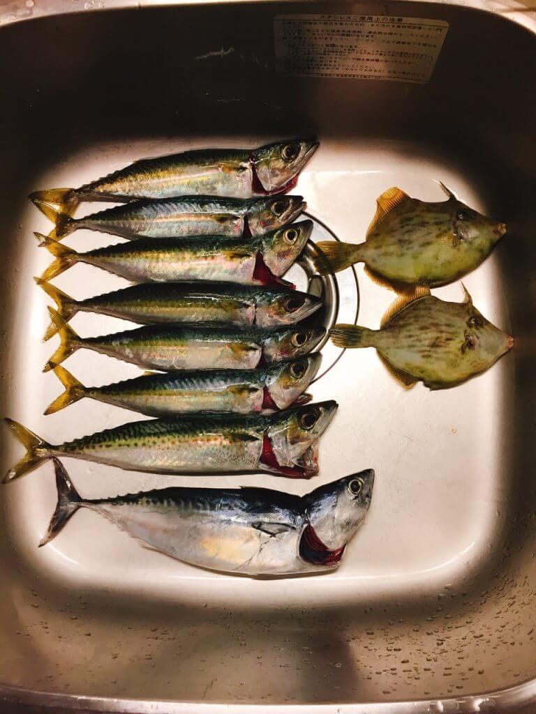 小網代湾で釣れたサバとカツオとカワハギ