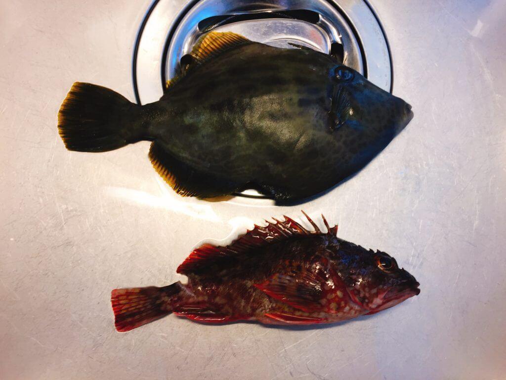 小網代湾で釣ったカサゴ