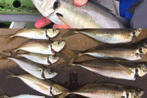 金沢八景米元釣船店 良型のアジを釣った