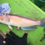 【初心者にもオススメ】食べておいしい東京湾・相模湾の高級魚アマダイの釣り方解説