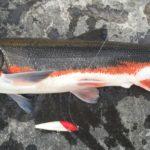 【保存版】春の多摩川はマルタウグイ釣りがおもしろい
