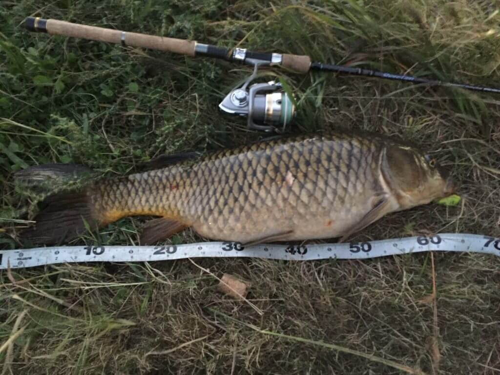 多摩川の鯉をルアーで釣る