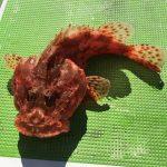 洲崎沖でオニカサゴ3匹目