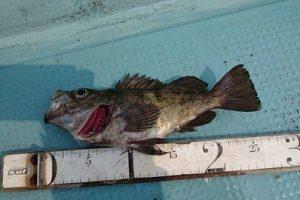 サビキで釣れた良型メバル