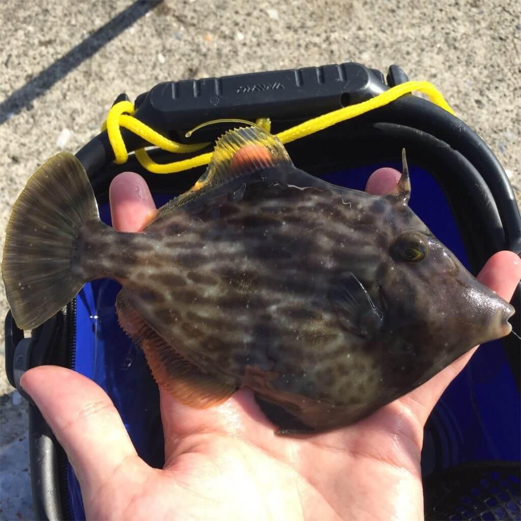三崎港花暮岸壁 釣り カワハギ