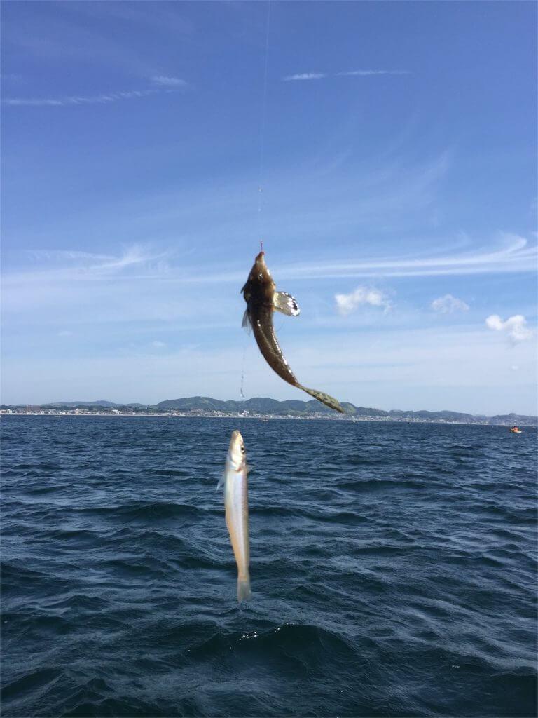 三浦半島金田湾 手漕ぎボート 釣り メゴチ入れ食い 時々キス