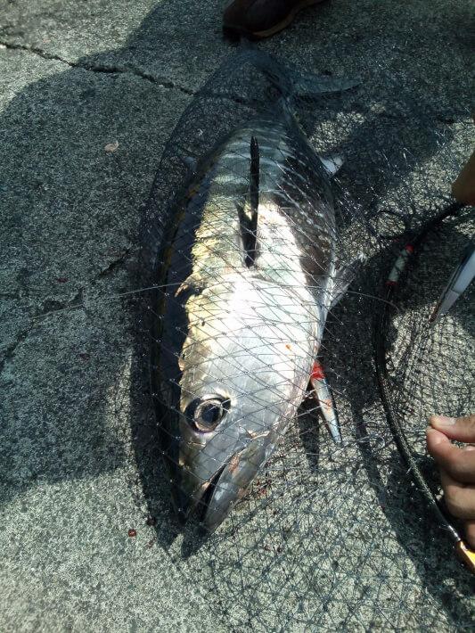 伊豆大島岡田港で釣れたメジマグロ