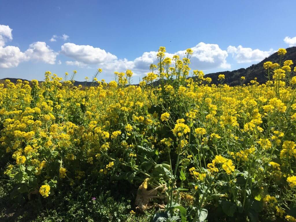 枇杷倶楽部裏の菜の花畑