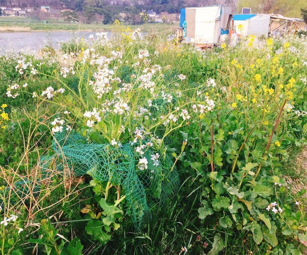 多摩川の河原は春真っ盛り