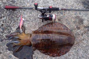 神奈川で釣ったアオリイカ2キロ