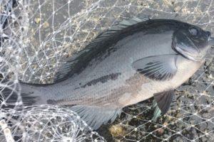 伊豆大島メメズ浜で釣ったメジナ