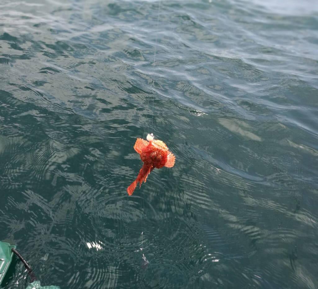 釣り オニカサゴ