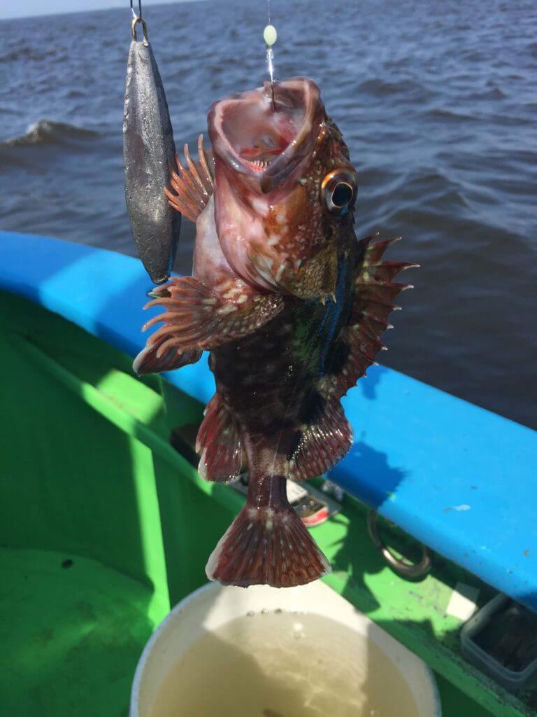 カサゴを釣った