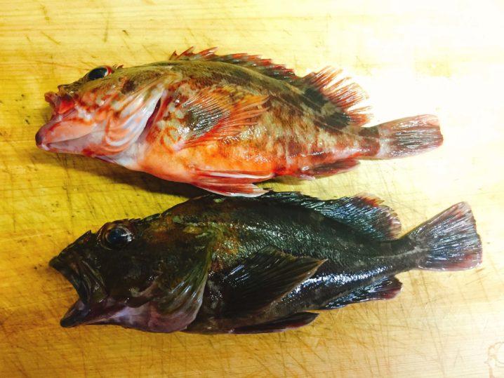 釣ったカサゴを調理