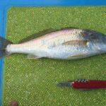 【釣り人ならでは!】イシモチをおいしく食べる方法を教える!