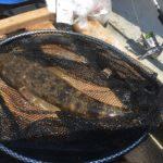 マゴチをもっと釣りたいのでダイワのマゴチXを買ってみた