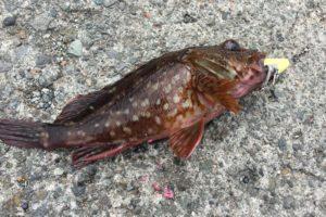 江之浦漁港でカサゴを釣った