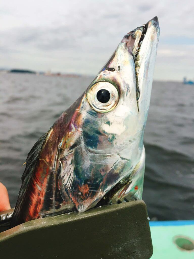 タチウオ釣りゲット