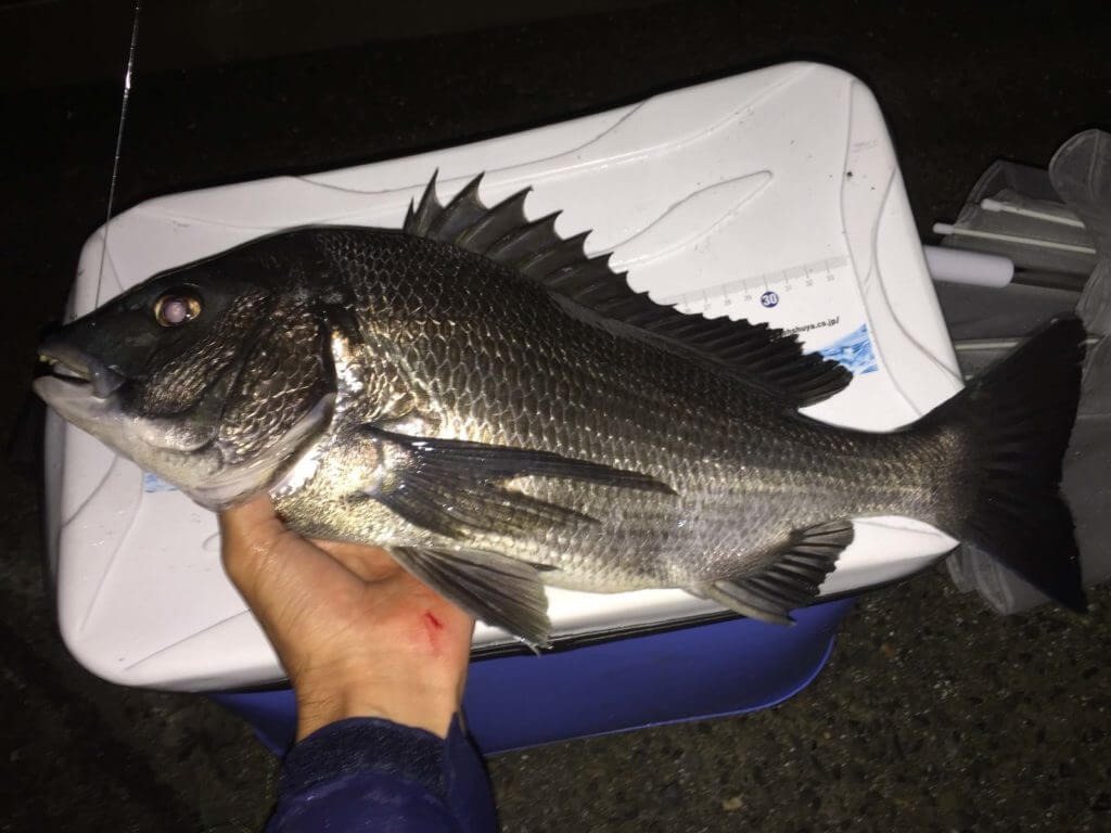逗子田越川で釣ったクロダイ