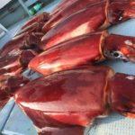巨大アカイカ(ソデイカ)釣りの助手研修へ挑戦してみた【カリブの近海賊さんからの寄稿】