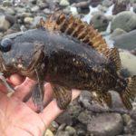 和賀江島でムラソイを釣った