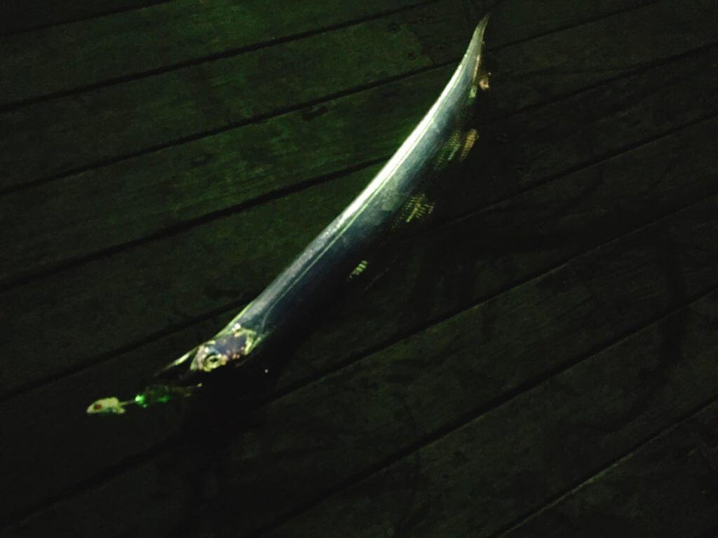 テンヤで釣れたタチウオ