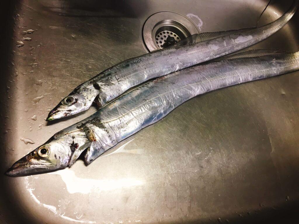釣ってきたタチウオ