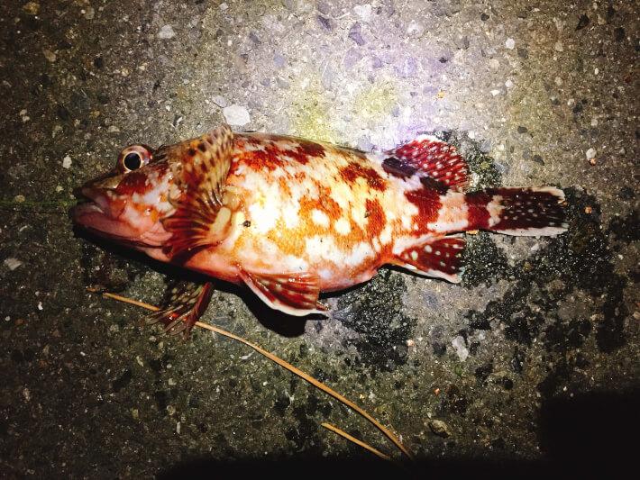 福浦岸壁でカサゴ釣り