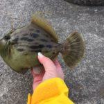 【釣女おひとり様がゆく】釣り初めは地元鹿児島錦江湾で堤防カワハギ釣り