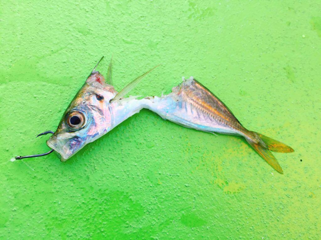 泳がせ釣りのマルアジが真っ二つに