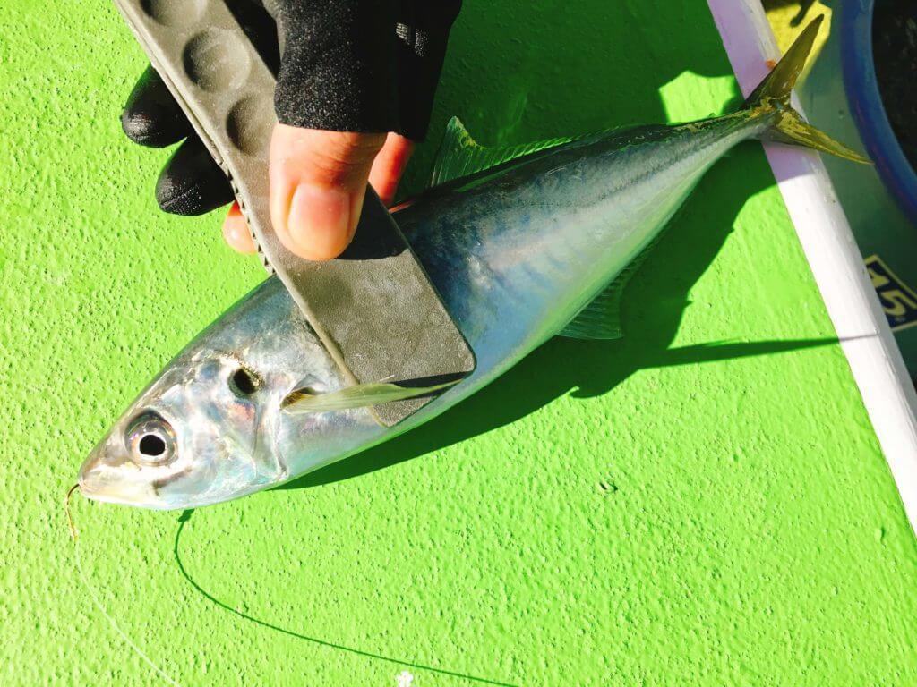 相模湾で釣ったマルアジ