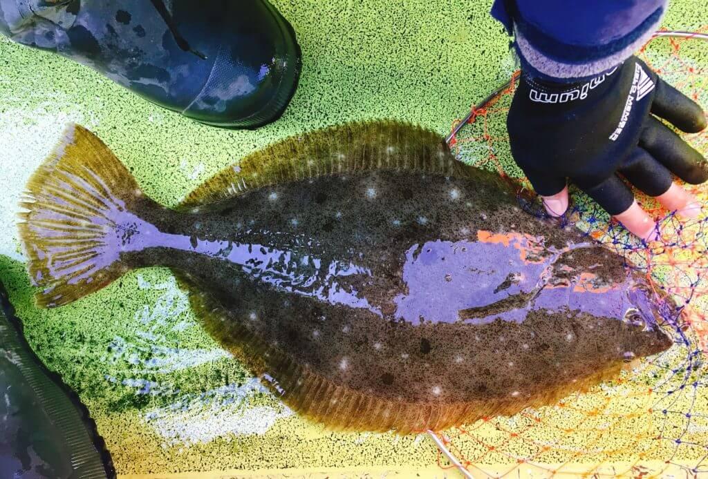 相模湾で釣ったヒラメ