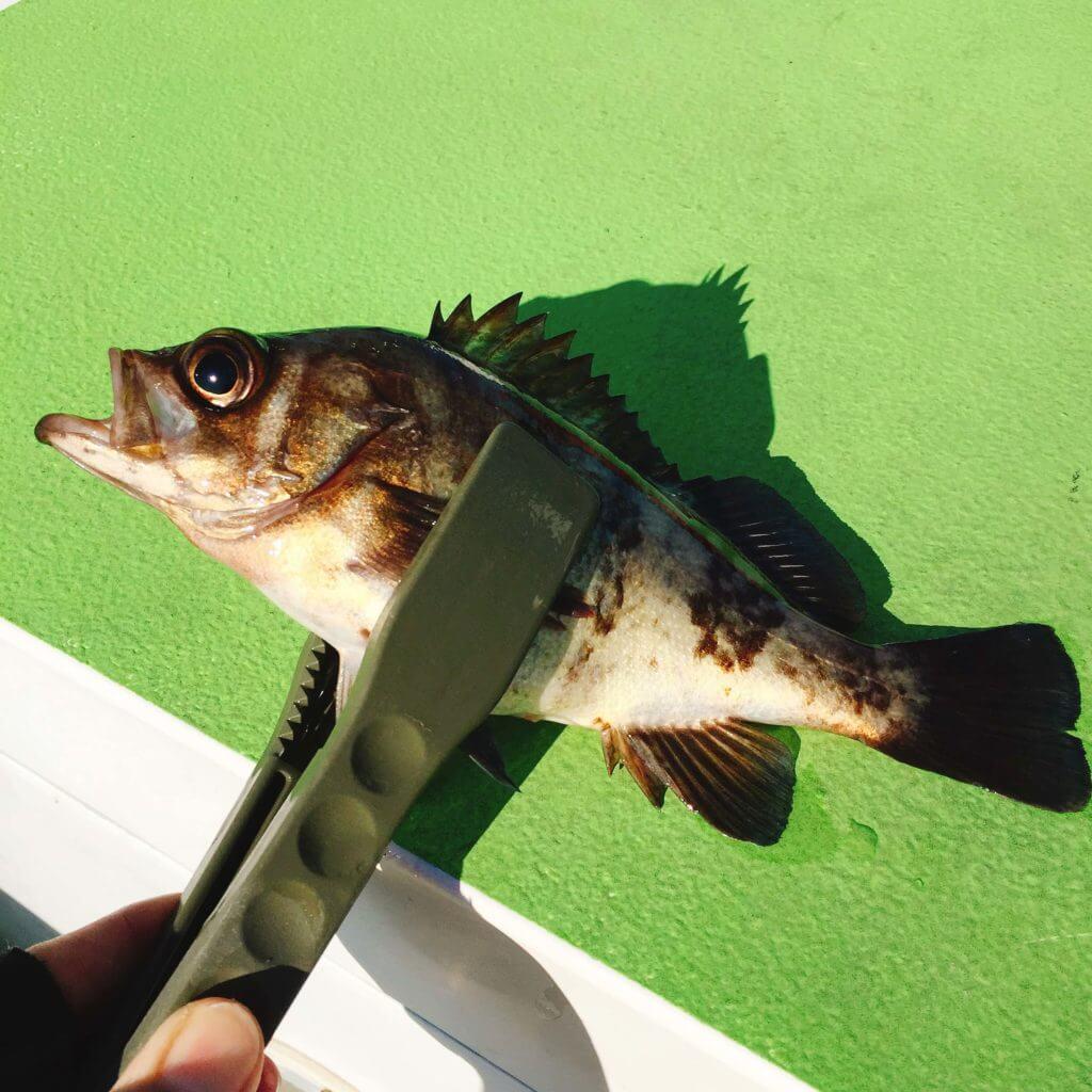東京湾 船釣り メバル釣った