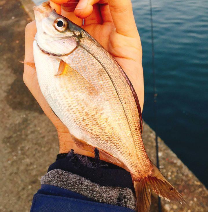 横浜でウミタナゴ釣った