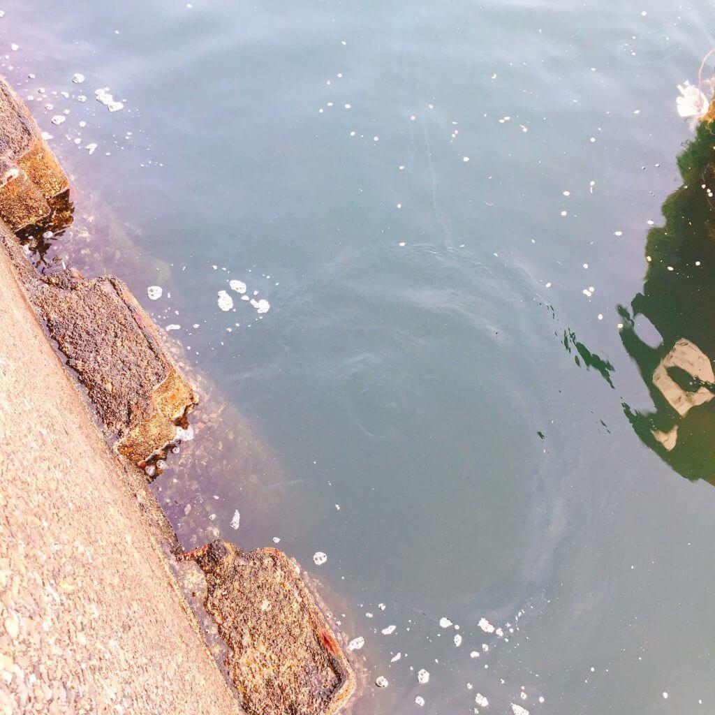 横浜 排水の流れだしに、ウミタナゴ(15~27cmぐらいの群れ)