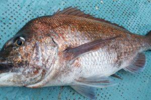 ライトフカセで釣った真鯛