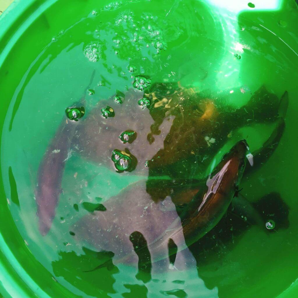 船釣りで釣ったバケツの中のムシガレイ