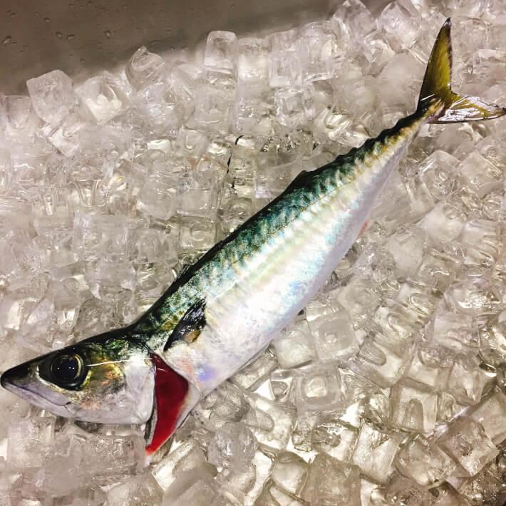 氷で冷やした釣ったサバ