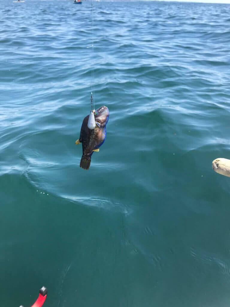 葉山一色海岸で釣れたキタマクラ