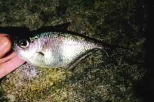 元町港の夜釣りで釣れたハタンポ
