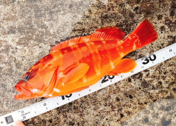 伊豆大島で釣れたアカハタ
