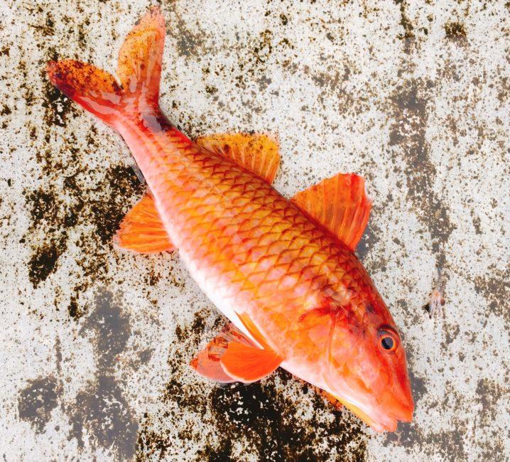 オジサンという魚