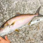伊豆大島で釣ったカンパチ