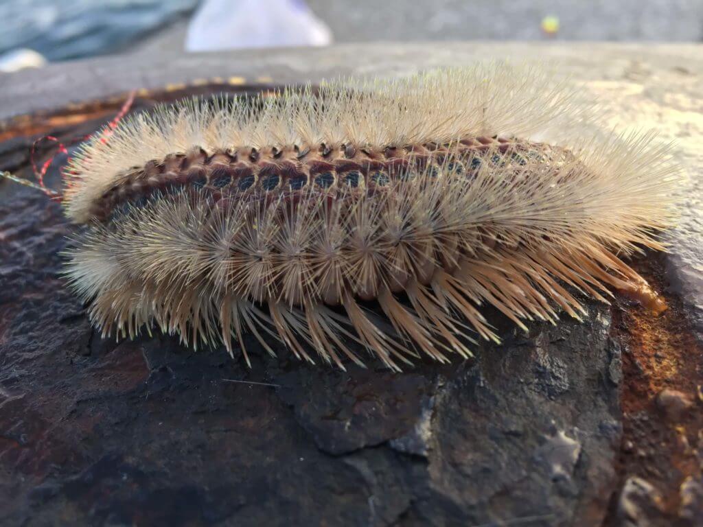 海毛虫(ウミケムシ)