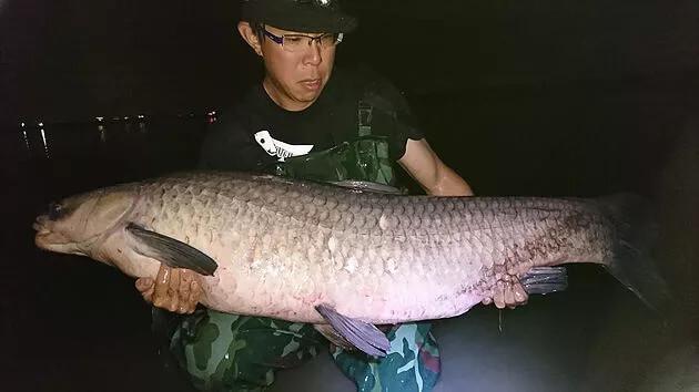 アオウオ(青魚)