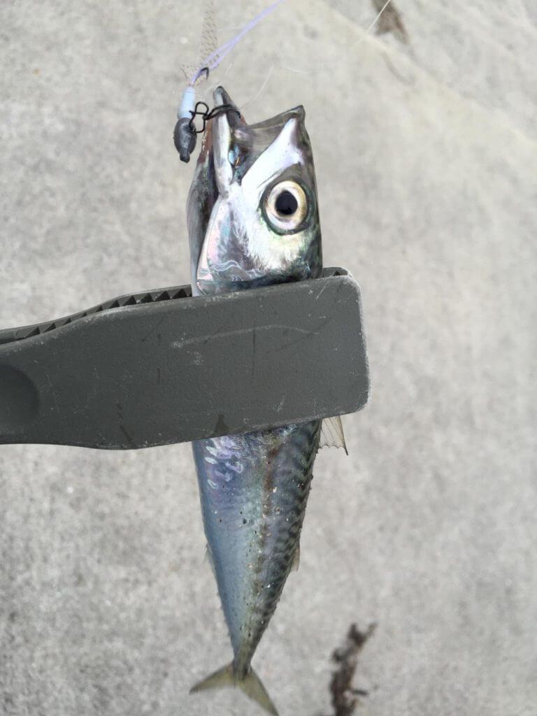 釣った小サバ